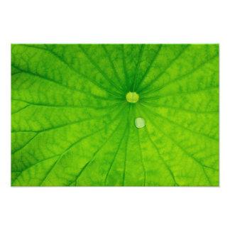 USA; North Carolina; Lotus leaf with dew drop Photographic Print