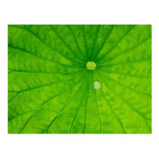 USA; North Carolina; Lotus leaf with dew drop Postcard
