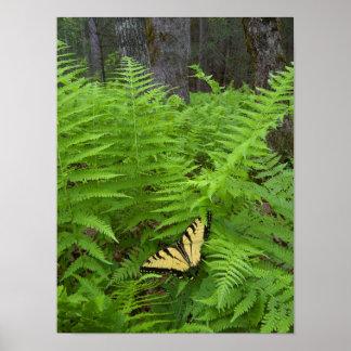 USA, North Carolina. Swallowtail butterfly Poster