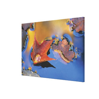 USA, Northeast, Maple Leaf in Reflection Canvas Print