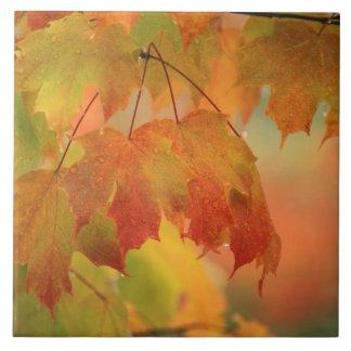 USA, Northeast, Maple Leaves in Rain. Credit as: Ceramic Tile