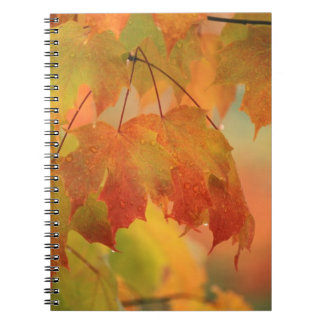 USA, Northeast, Maple Leaves in Rain. Credit as: Notebook