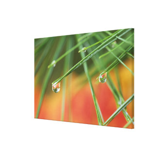 USA, Northeast, Pine tree needles with drops of Stretched Canvas Prints