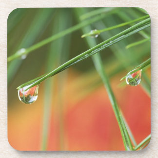 USA, Northeast, Pine tree needles with drops of Beverage Coaster