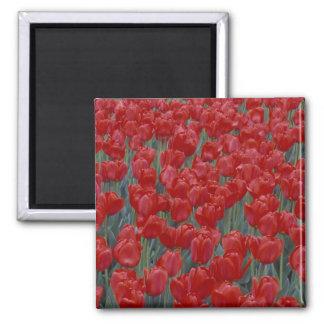 USA, Ohio, Cincinnati. Bed of red tulips 2 Inch Square Magnet