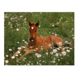 USA, Oregon, Arabian Pony. Postcards