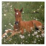 USA, Oregon, Arabian Pony. Tile