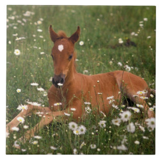 USA, Oregon, Arabian Pony. Large Square Tile