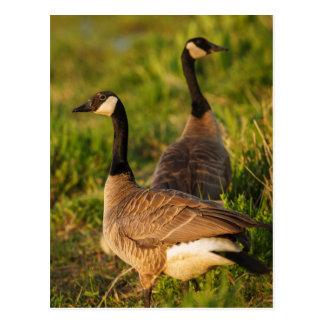 USA, Oregon, Baskett Slough National Wildlife 3 Postcard