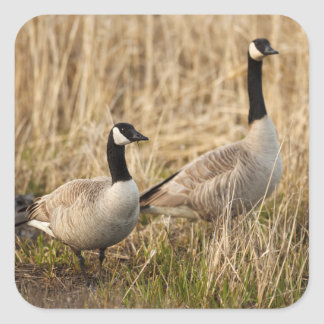 USA, Oregon, Baskett Slough National Wildlife 5 Square Sticker