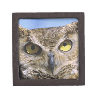 USA, Oregon, Bend. Great Horned Owls are common Jewelry Box