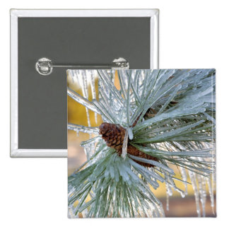 USA, Oregon, Bend. Ponderosa pine needles are Buttons