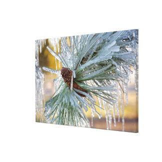 USA, Oregon, Bend. Ponderosa pine needles are Canvas Print