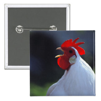 USA, Oregon, Eugene. A white rooster greets Button