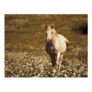 USA Oregon Horse in a field of daisies Postcard