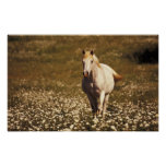 USA, Oregon. Horse in a field of daisies Posters