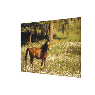 USA, Oregon. Horse in field of daisies Canvas Print