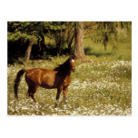 USA, Oregon. Horse in field of daisies Postcard