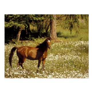 USA Oregon Horse in field of daisies Post Card