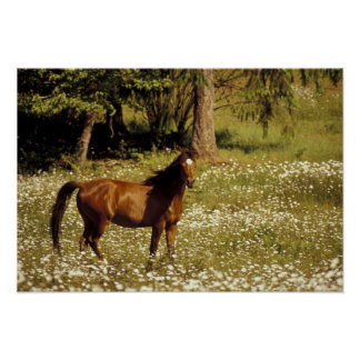 USA, Oregon. Horse in field of daisies Poster