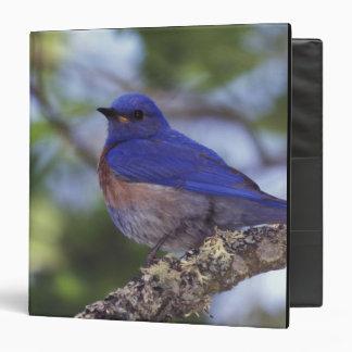 USA, Oregon. Male Western Bluebird 3 Ring Binder