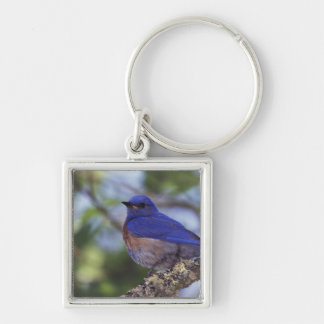 USA, Oregon. Male Western Bluebird Keychain