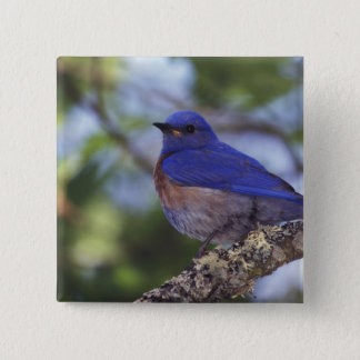 USA, Oregon. Male Western Bluebird Pinback Button