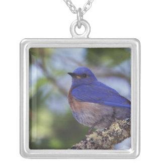 USA, Oregon. Male Western Bluebird Silver Plated Necklace