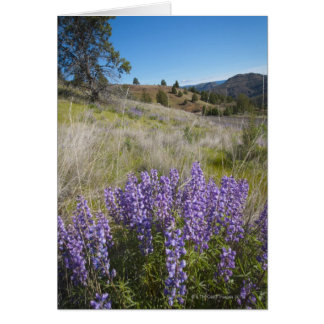 USA, Oregon, Mitchell, Flowering lupines Card