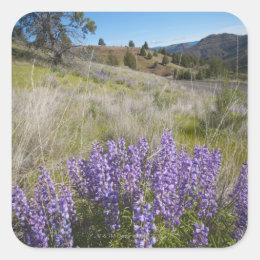 USA, Oregon, Mitchell, Flowering lupines Square Sticker