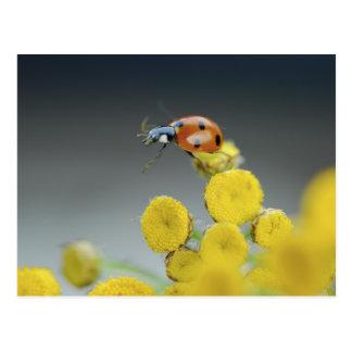 USA, Oregon, Multnomah County. Ladybug on yellow Postcard