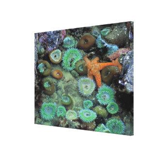 USA, Oregon, Nepture SP. An orange starfish is Canvas Print