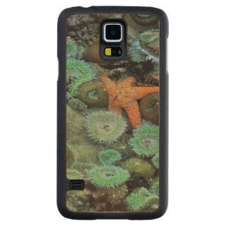 USA, Oregon, Nepture SP. An orange starfish is Carved Maple Galaxy S5 Case