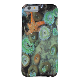 USA, Oregon, Nepture SP. An orange starfish is Barely There iPhone 6 Case