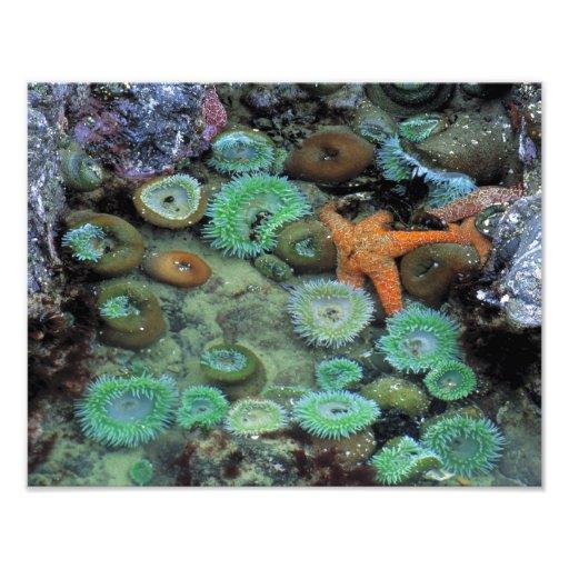 USA, Oregon, Nepture SP. An orange starfish is Photo Art