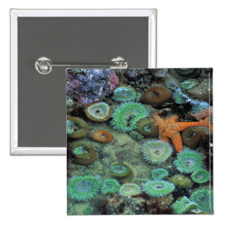 USA, Oregon, Nepture SP. An orange starfish is Pinback Button
