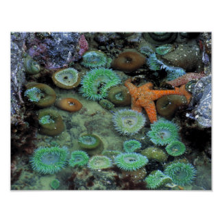 USA, Oregon, Nepture SP. An orange starfish is Posters