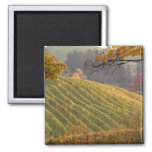 USA, Oregon, Newberg. Vineyard in the fall. 2 Inch Square Magnet