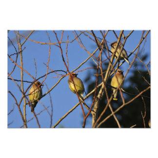 USA, Oregon, Portland. Cedar waxwing on tree Photographic Print