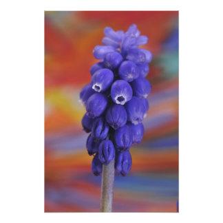USA, Oregon, Portland. Close-up of blue grape Photographic Print