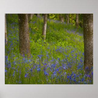 USA, Oregon, Salem, Wildflowers among oak trees 2 Poster