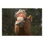 USA, Oregon, Seneca, Ponderosa Ranch. A horse Art Photo