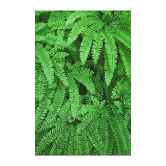 USA, Oregon, Silverton. Maidenhair Ferns Canvas Print