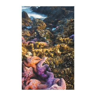USA, Oregon. Starfish and sea stars Canvas Print
