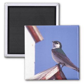 USA, Oregon. Violet-Green Swallow Tachycineta Magnet