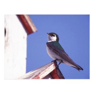 USA, Oregon. Violet-Green Swallow Tachycineta Post Card