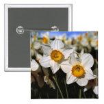 USA, Oregon, Willamette Valley. Daffodils 2 Inch Square Button