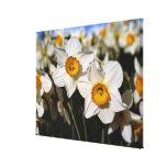 USA, Oregon, Willamette Valley. Daffodils Canvas Print