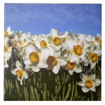 USA, Oregon, Willamette Valley. Daffodils grow Ceramic Tile