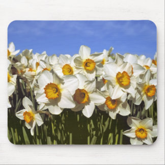 USA, Oregon, Willamette Valley. Daffodils grow Mouse Pad
